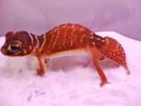 Australian Gecko(オーストラリア産ヤモリ)