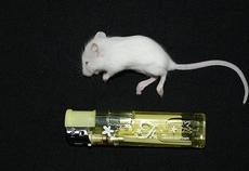 現在冷凍フードの販売は停止しております、ご了承ください。特徴自社生産の国産マウス・ラットになります。餌はオリエンタル酵母の実験動物用飼料を使い大切に育てております。また保存にはマイナス60℃の超低温冷...