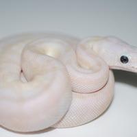 パステルスーパースペシャル幼体のサムネイル