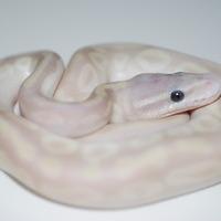 パステルクリスタル幼体のサムネイル