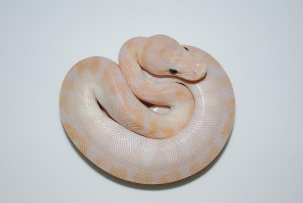 スーパースペシャル幼体のサムネイル