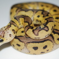 パステルクラウン幼体のサムネイル