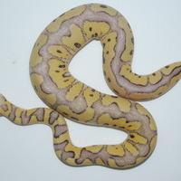 キラークラウン幼体のサムネイル