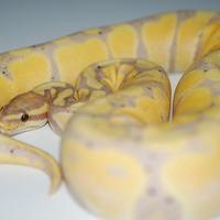 バナナ亜成体のサムネイル