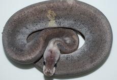 シナモン×ブラックパステルのスーパー体にパステルがはいった2重コンボモルフになります、パステルがはいることで黒から銀色へと変わります。白ヘビと並び人気の黒ヘビ、作れるモルフが2種類と少ないので白ヘビ...